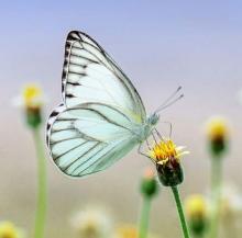 Mariposas fuertes